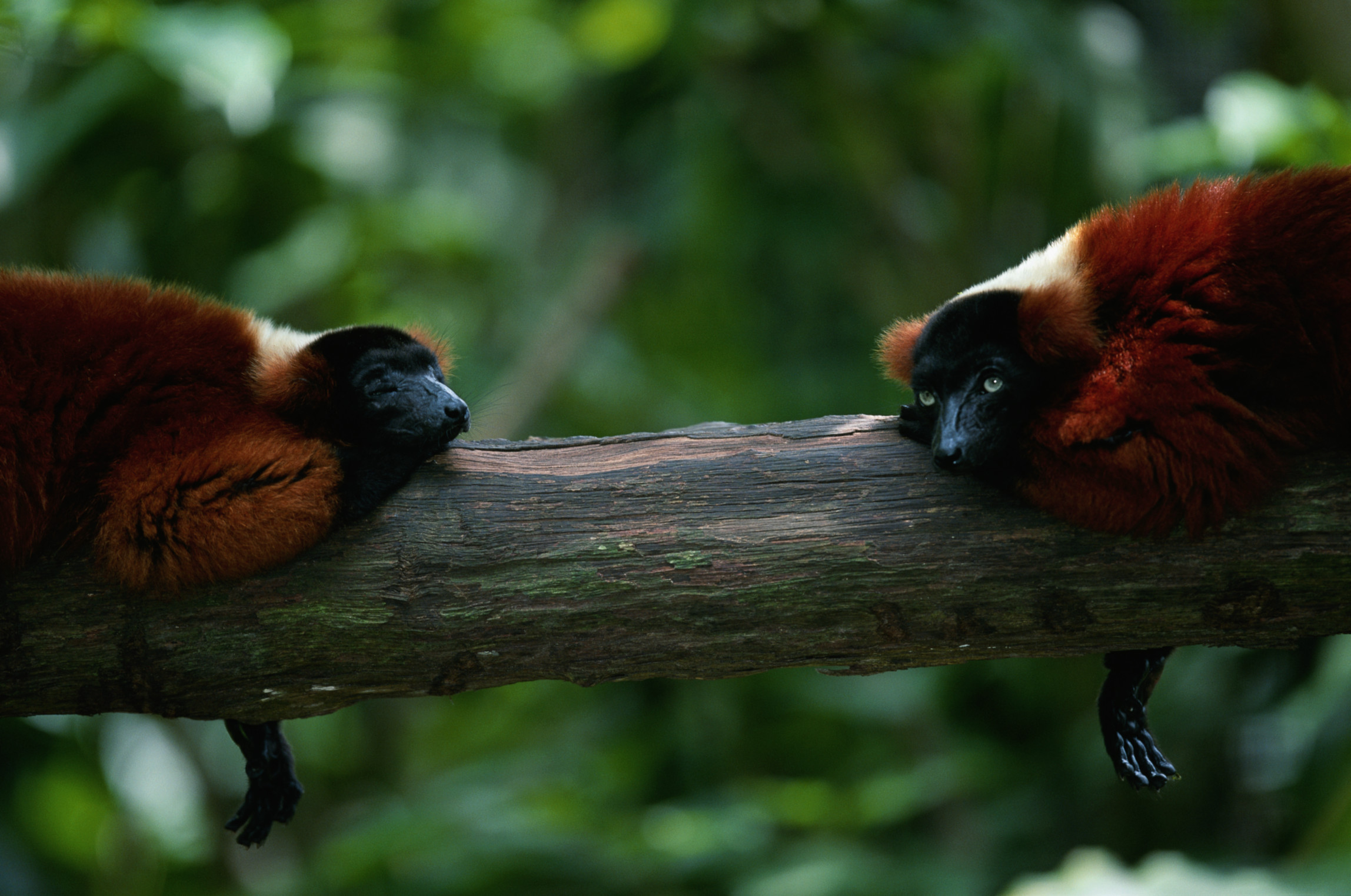 Two red ruffed lemurs (Varcia variegata) lying on branch, captive, Madagascar